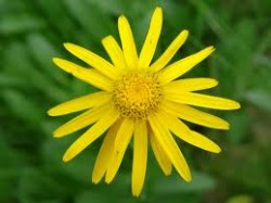 Mountain Arnica officinal herb